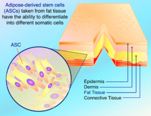 How can you get stem cells from your body?