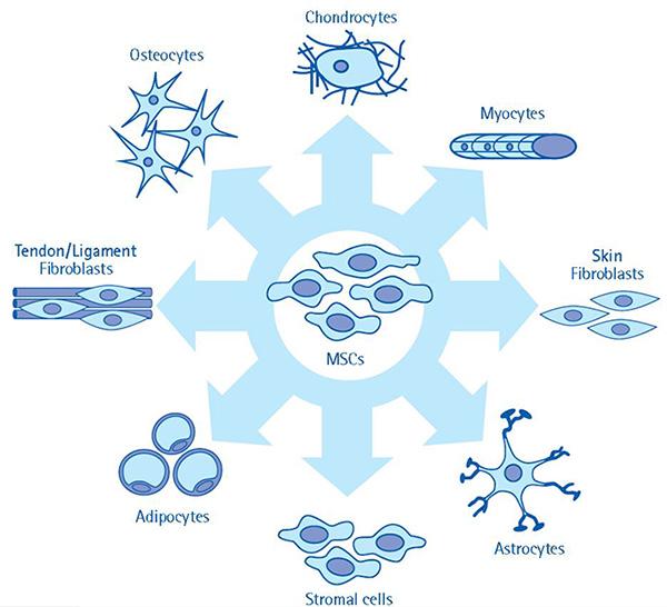 What are mesenchymal stem cells?