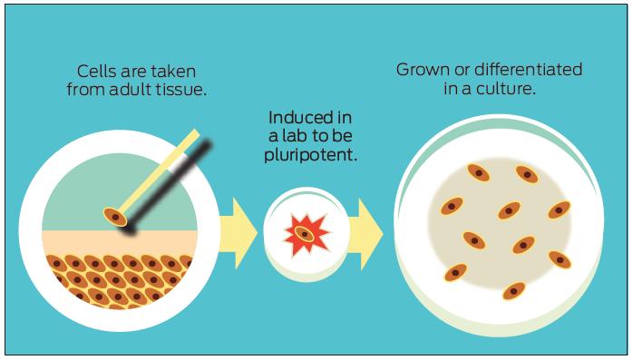 stem cells multiplicate